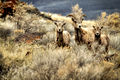 Big Horn Sheep on Abert Rim (8736465058).jpg