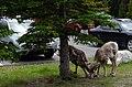 Bighorn sheep grazing near a parking lot in Banff National Park.jpg