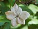 Bigleaf Hydrangea Hydrangea macrophylla 'Tokyo Delight' Dried Flower Edit 2569px.jpg