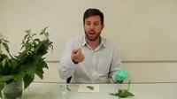 File:Biology practical demo - How do nettles sting-.webm