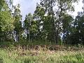 Birch and bracken, side of B976. - geograph.org.uk - 445036.jpg
