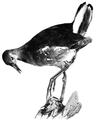 Bird-Lore-4-1 0062.png