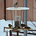 Birds at a birdfeeder in Botevgrad, Bulgaria 01.jpg