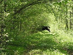 Bison live in Bialowieza forest 2.jpg