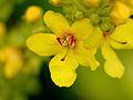 Blüte der Königskerze als Makroaufnahme.jpg