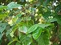Blachia andamanica subsp. denudata (8294410112).jpg