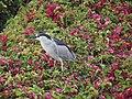 Black-crowned night heron (48050049932).jpg