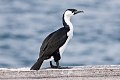 Black-faced Cormorant (Phalacrocorax fuscescens) (8079574186).jpg