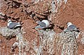 Black-legged Kittiwake-Nest.jpg