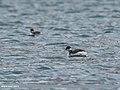 Black-necked Grebe (Podiceps nigricollis) (39560122342).jpg