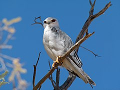 240px black shouldered kite (elanus caeruleus) (7002944187)