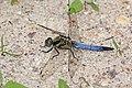 Black-tailed skimmer (Orthetrum cancellatum) male Estonia.jpg
