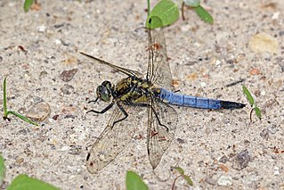 Black-tailed skimmer species of insect