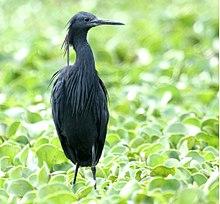 black heron wikipedia