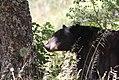 Black bear (16279832441).jpg