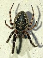 Black small spider on the white wall - 2.jpg