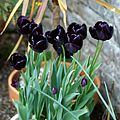 Black tulips at Quex House Birchington Kent England 1.jpg