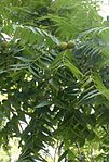 Black walnut in tree 1.jpg