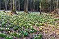 Bledule jarní v PR Králova zahrada 47.jpg