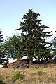 Blochriegel, Wetterbaum beim Ofen.jpg