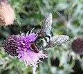 Blow fly (20408539568).jpg