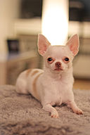 Blubble Head English Chihuahua - Warhol.jpg