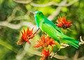 Blue-beard bee-eater নীল দাড়ি সুইচোরা.jpg