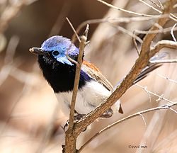 Blue-breasted Fairy-wren (Malurus pulcherrimus) of Kings Park, Perth Western Australia.jpg