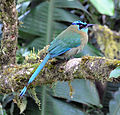 Blue-crowned Motmot (6900676752).jpg
