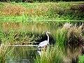 Blue Heron Cameron NC 3842 (15568490507).jpg
