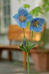 Blue Poppy Meconopsis sp Chanticleer 2000px.jpg