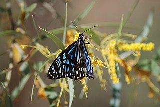 <i>Tirumala hamata</i> species of insect