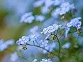 Blue flowers (9029105268).jpg