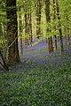 Bluebell woods - geograph.org.uk - 1287359.jpg