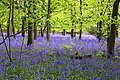 Bluebells in Cowleaze Wood - geograph.org.uk - 1284773.jpg