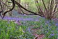 Bluebells to the east of Castle Ditches earthworks - geograph.org.uk - 416664.jpg
