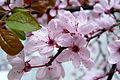 Blutpflaume (Prunus cerasifera).jpg