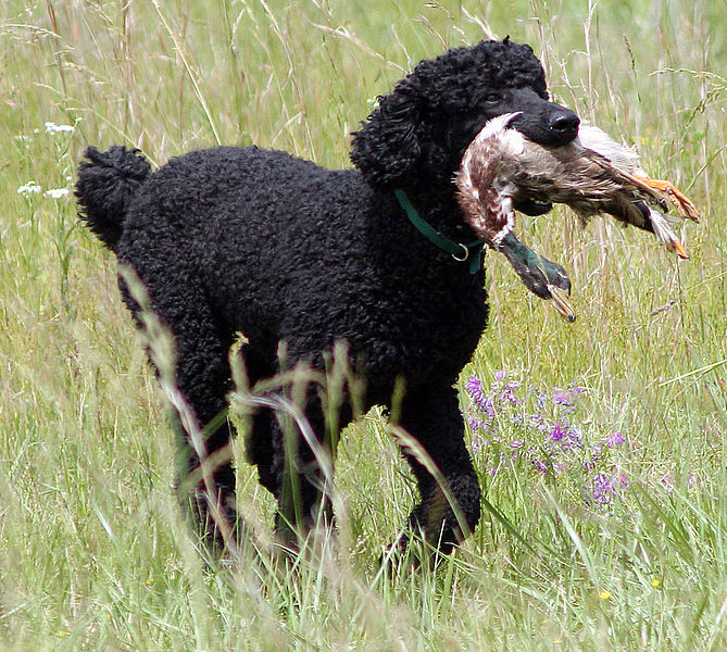File:Bo the poodle retrieving a duck.jpg