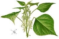 Boehmeria nivea Blanco2.385-cropped