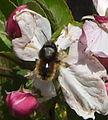 Bombus monticola en flor de pomer.JPG