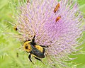 Bombus nevadensis Nevada Bumble Bee on Elk Thistle Flower Seedskadee NWR (18733381523).jpg