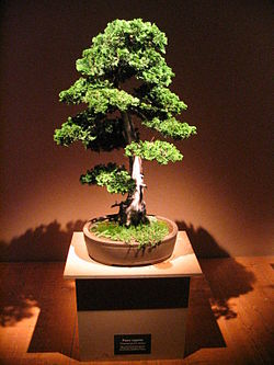 BONSAI I DEO 250px-Bonsai_IMG_6404