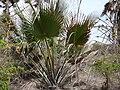 Borassus aethiopum 0020.jpg