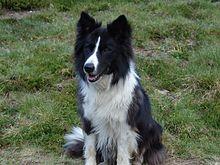 Border Collie Wikipedia