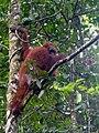 Bornean Orangutan (14184809424).jpg