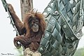 Bornean Orangutan (31744177616).jpg
