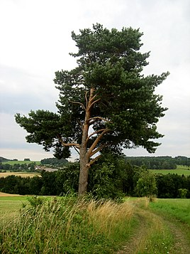 Borovice Lesni Wikipedie