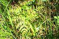 Botrychium virginianum 9-mgrover (5098031632).jpg