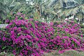 Bougainvillea 1stMainRd Uthandi TN Feb21 A7C 00128.jpg