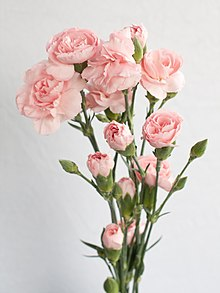 Bouquet of pink carnations.jpg